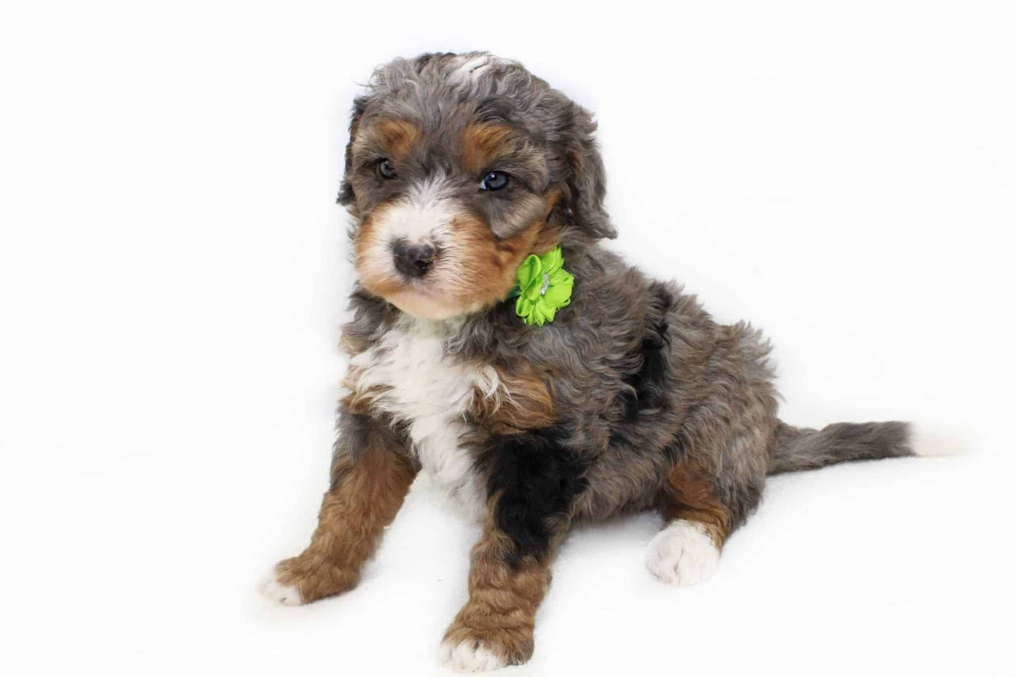 merle bernedoodles, bernedoodles, bernedoodles near me, bernedoodle puppies for sale, micro mini bernedoodles, petite bernedoodles, standard bernedoodles