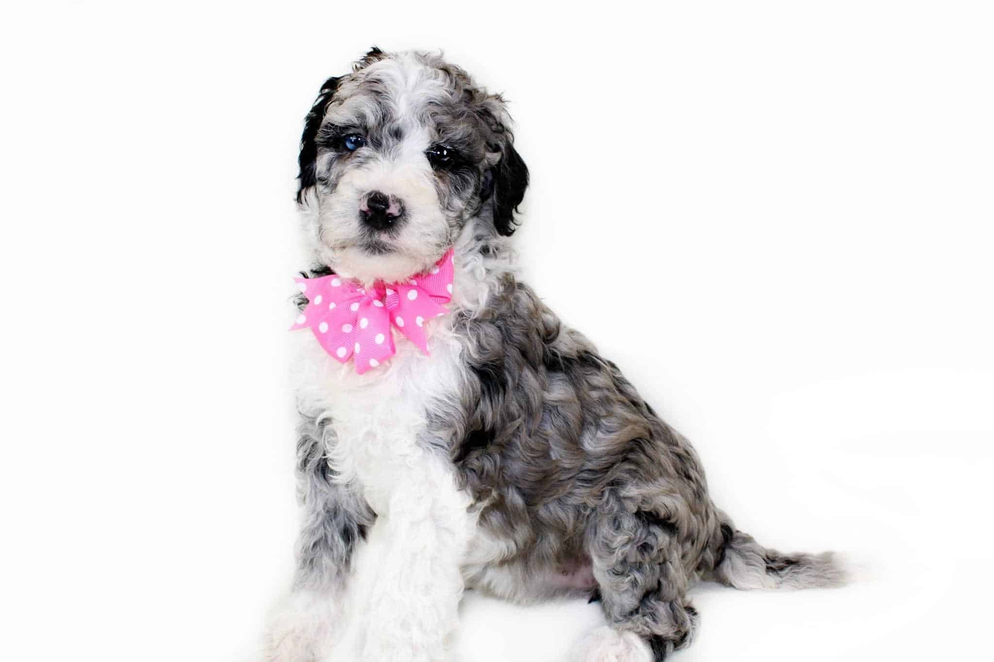 merle sheepadoodle, sheepadoodle, golden sheepadoodle, mini sheepadoodle, mini golden sheepadoodle, sheepadoodle puppies near me, sheepadoodle puppies for sale