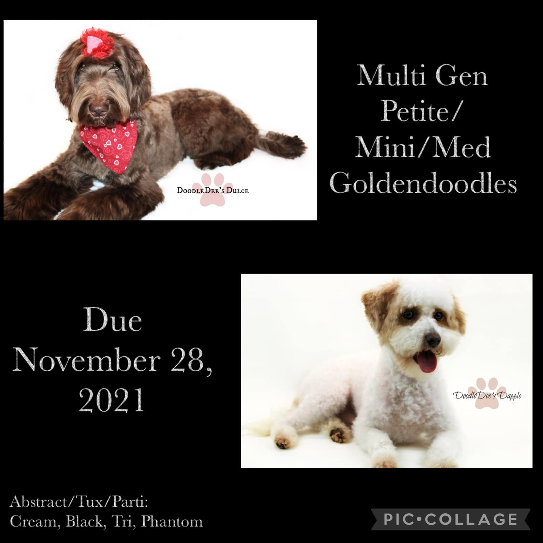 goldendoodle, mini goldendoodle ,goldendoodle puppies for sale, goldendoodle near me, chocolate goldendoodle, petite goldendoodle