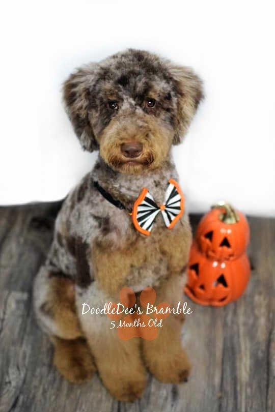 bernedoodle, bernedoodle puppies for sale, bernedoodles near me, mini bernedoodles, medium bernedoodles