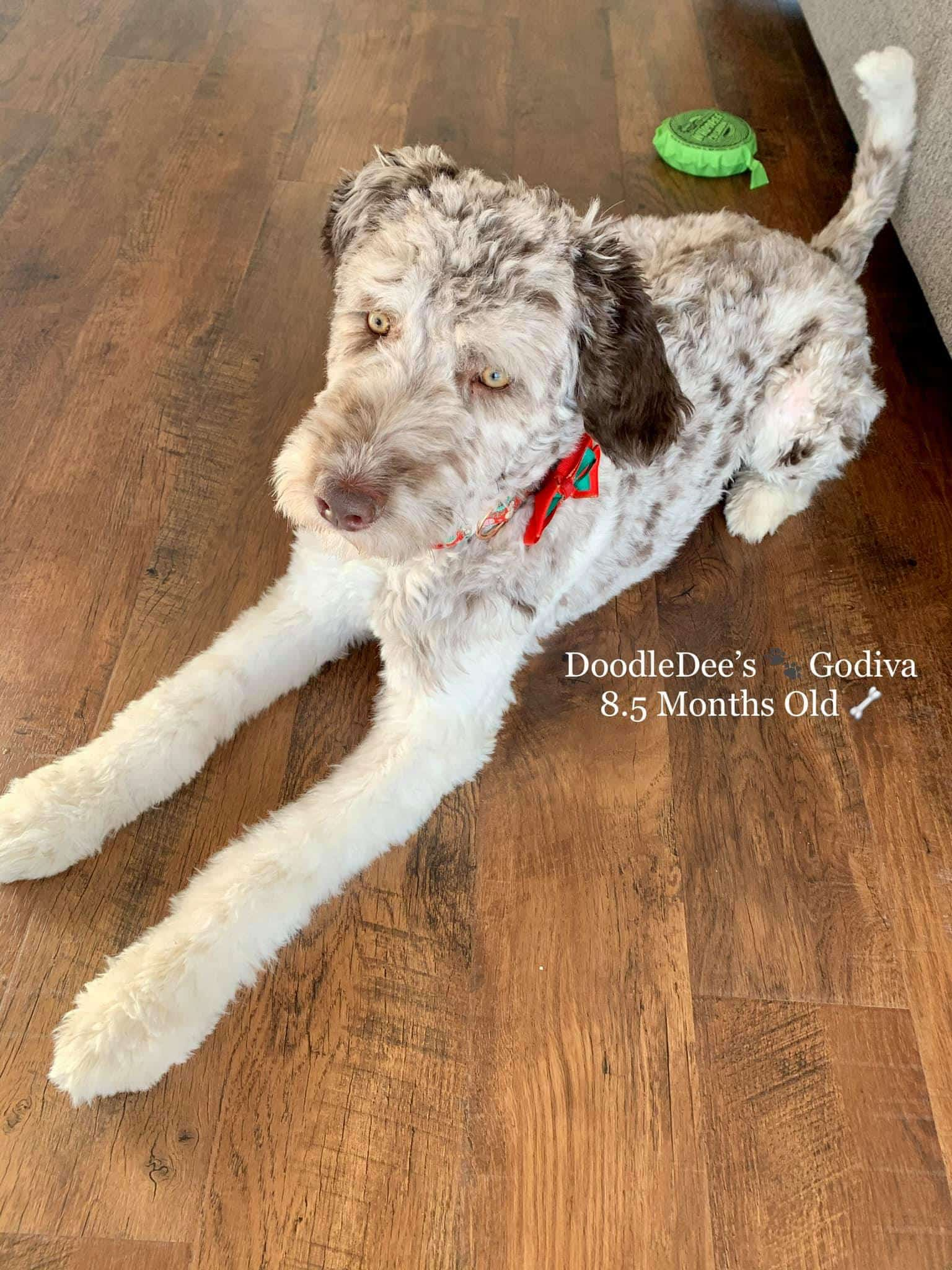 goldendoodle, chocolate merle goldendoodle, goldendoodle, mini goldendoodle, chocolate goldendoodle, goldendoodle puppies for sale, goldendoodle near me